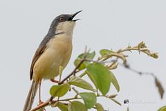 An Ashy Prinia calling out in the morning