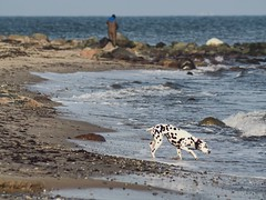 February 8, 2020 - Dog on the beach tests the Baltic Sea - Fehmarn - Germany