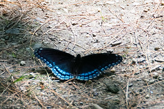 Red-spotted Purple Limenitis arthemis astyanax