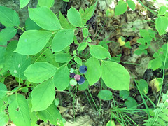 Blue Ridge Blueberry Vaccinium pallidum