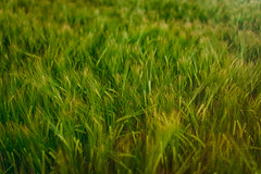 Close Up Wheat Meadow Background