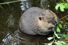 Beaver-pondlife