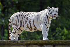 White tigress on the platform