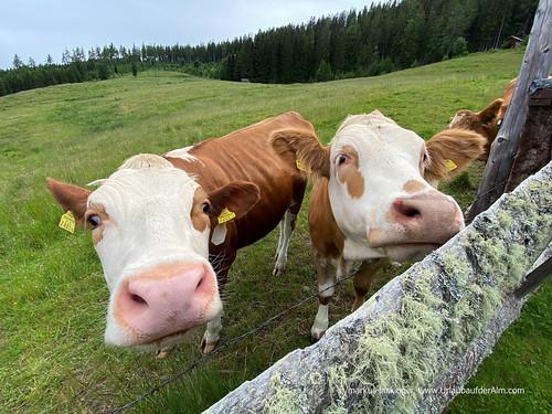 neugierige Zaungäste auf der Galgenhütte in Kärnten