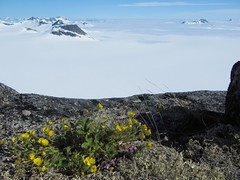 Alpine plant on the Juneau Icefield