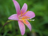 Photo:Pink rain lily (Zephyranthes carinata, サフランモドキ) By Greg Peterson in Japan