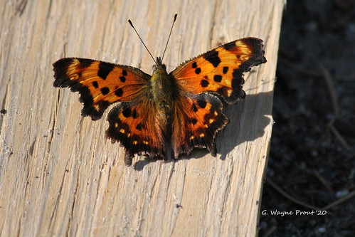 Eastern Comma Butterfly (Polygonia comma)