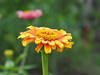 Photo:Zinnia flower (Zinnia elegans, ヒャクニチソウ, 百日草) By Greg Peterson in Japan