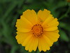 Photo:Coreopsis flower (コレオプシス) By Greg Peterson in Japan