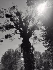 Arbre dans la campagne de Vesoul (Haute Saône)