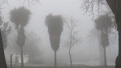 Palms and Fog