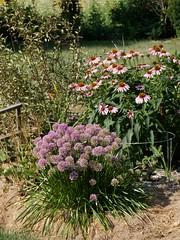 Allium 'Millenium' (McDonough) Photo by F.D.Richards, SE Michigan, 7/2020