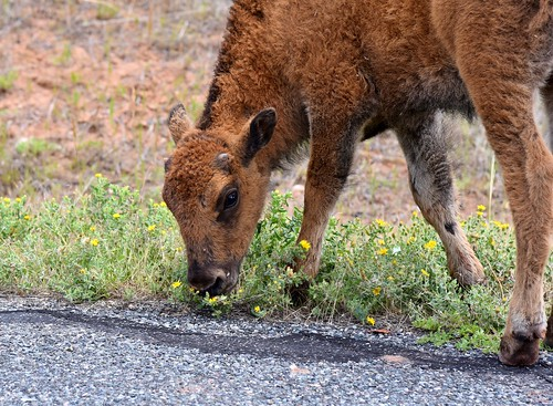 Bison Baby & Flowers