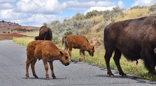 Mothers and calves