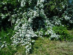 Fuji_spring_voluntar2010_0504_090758