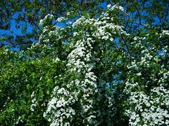 Fuji_spring_voluntar2010_0504_090601