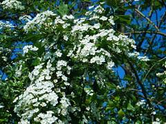 Fuji_spring_voluntar2010_0504_090543