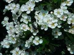 Fuji_spring_voluntar2010_0504_090450