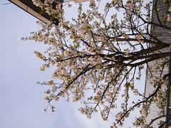 Fuji_spring_voluntar2010_0416_170306