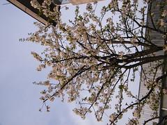 Fuji_spring_voluntar2010_0416_170301