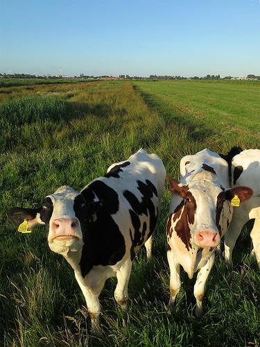 A cows' staredown
