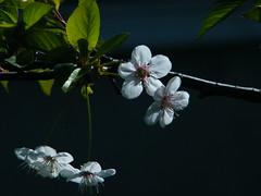 Fuji_spring_voluntar2010_0419_085726