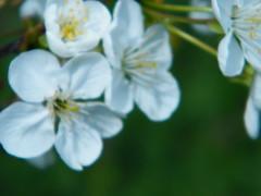 Fuji_spring_voluntar2010_0416_141558