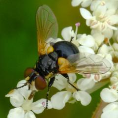 Cistogaster globosa - female