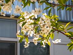 Fuji_spring_voluntar2010_0419_085500