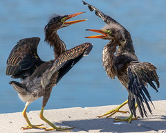 Pair of Hungry Juvenile Little Green Herons