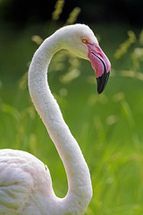 Profile of a pink flamingo