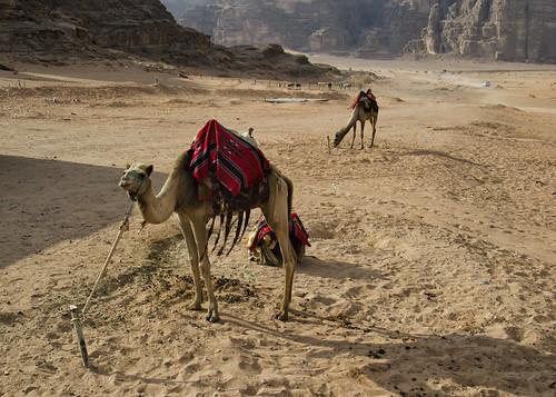 Jordan:  Wadi Rum Camels - Photo #2