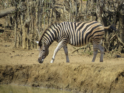 The edge is to steep, I can't reach the water... (  Zebra  )