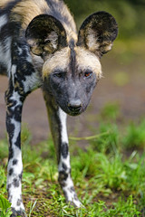 Shy standing wild dog