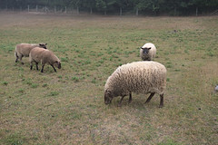 Sheep in Le Bec-Hellouin