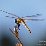Aves e insectos en las lagunas de La Guardia (Toledo) 31-7-2020