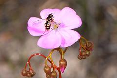 Hoverfly on Drosera macrantha