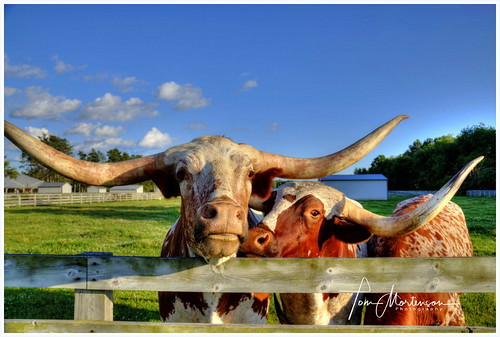 Longhorn Steers