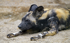 Young wild dog lying down on the sand