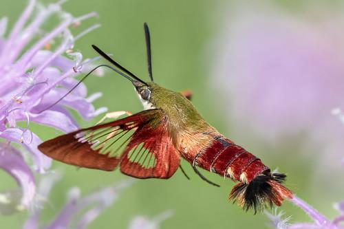 Clearwing Humingbird Moth
