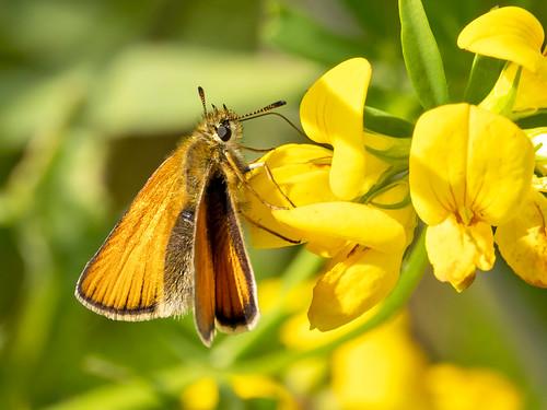 Zwartsprietdikkopje-Essex Skipper  (Thymelicus lineola)