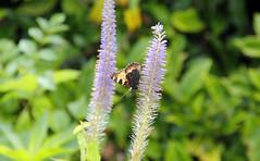 Tortoiseshell Butterfly 3