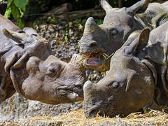 Three rhinos eating