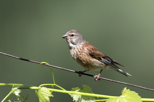 Common Linnet (Linaria cannabina) immature male.