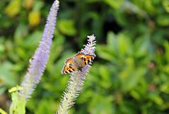 Tortoiseshell Butterfly 2