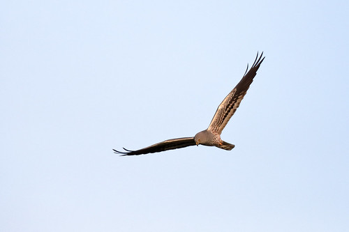 Montagu's Harrier (Circus pygargus), male in typical harrier flight pose.