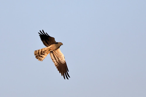 Montagu's Harrier (Circus pygargus), male