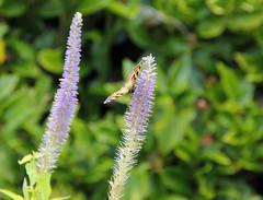 Tortoiseshell Butterfly 4