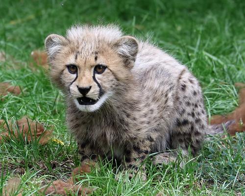 Cheetah Cub - Ready to Pounce