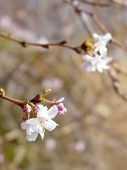 Flower bud on a tree [01]